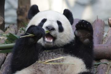 Giant Panda is Eating Bamboo Leaves, China