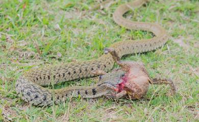 Snake eating frog on greensward