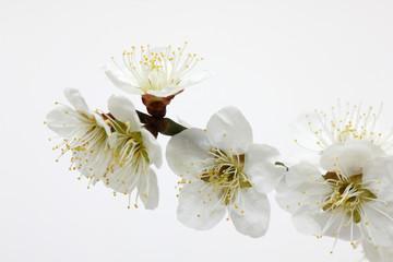 梅の花  スタジオ