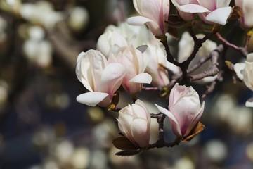 White magnolia (Magnolia denudata)