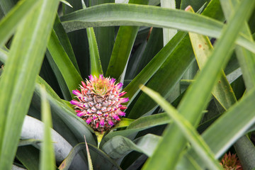 Young pineapple plant in pineapple farm
