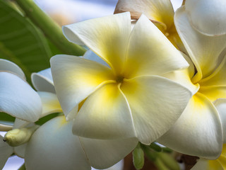 Close up of Plumeria or Leelawadee flower.