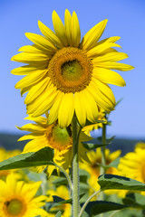 Sunflowers in the field in summer, close up