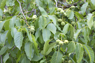 green walnut fruit on a young bright green tree