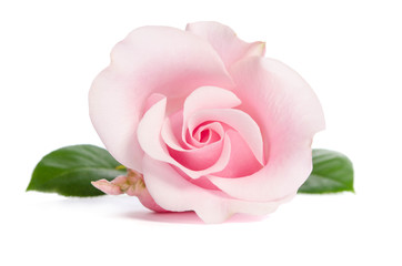 single bud of pink rose isolated on white background