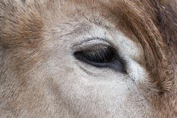 Detalle del ojo de un Buey. Animal. Ganado.