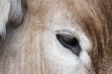 Detalle cabeza y ojo de un Buey. Animal. Ganado.