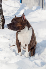American staffordshire terrier puppy is sitting on a white snow. Ten month old.