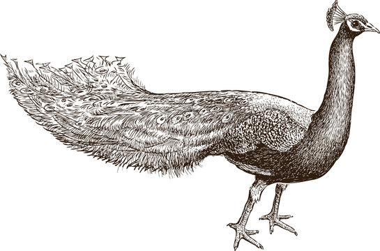 Sketch of a watching peacock
