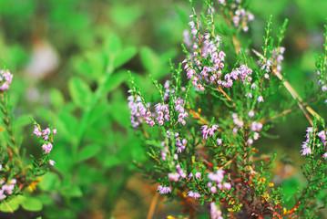 Little lilac flowers flowering plants of Heather on blurred background green bushes in the natural landscape in summer