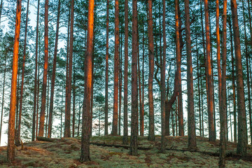 Pine Forest. Summer time. Sunset.