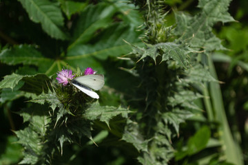 White butterfly on violet thistle flower, with stems and green leaves. Barranco de Guiniguada, Gran Canaria, Canary Islands. March 18, 2018