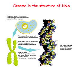 Genome 3D in the structure of DNA. genome sequence. Telomere is a repeating sequence of double-stranded DNA located at the ends of chromosomes Nucleotide, Phosphate, Sugar, and bases. education vector
