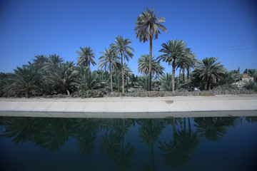 Date palm trees are seen at a farm, in Kerbala