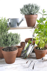various herbs aromatic in pot on white wooden table with gardening tools