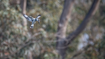 Pied Kingfisher, Israel