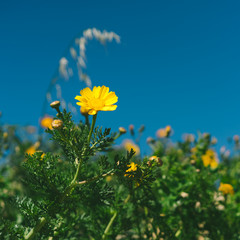 Wild yellow flowers (crown daisies) growing on the walls of Citadel, Gozo Island, Malta