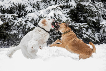 two dogs playing with a toy together, dogs fight