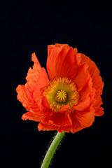 Mohn Blume