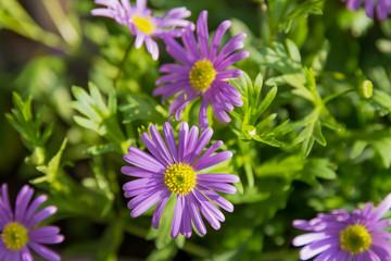 violettes Gänseblümchen