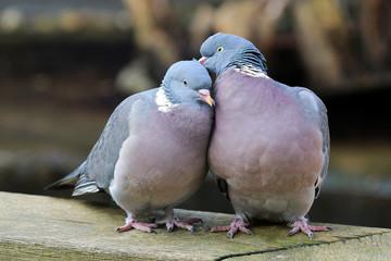 Wood pigeons in love Wall mural