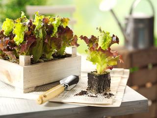 Junge Salatpflanzen beim Einpflanzen