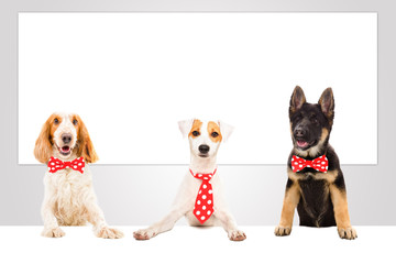 Three funny cute office dogs on the background of a big banner