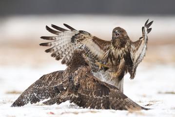 Common buzzards (Buteo buteo) fighting