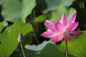 Lovely pink water lily blooming among lush leaves in a lotus pond under bright summer sunshine ~ Close-up of a lotus bud and a waterlily flower in full bloom ( vivid version )