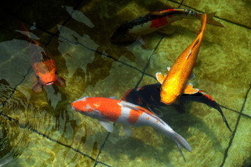 Koi swimming in the pool at Madura, Indonesia