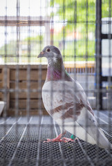milly color feather speed racing pigeon bird in racing home loft