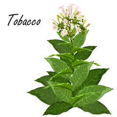 Tobacco (Nicotiana tabacum). Hand drawn realistic vector illustration of green tobacco plant with leaves and flowers isolated on white background.