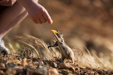 The Barbary Ground Squirrel