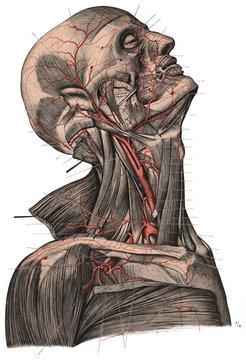 Vintage Anatomy Portrait Vector Neck Head Illustration Colour