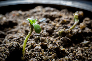Young Cannabis Growing in soil