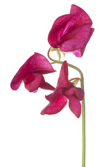 sweet pea flower isolated