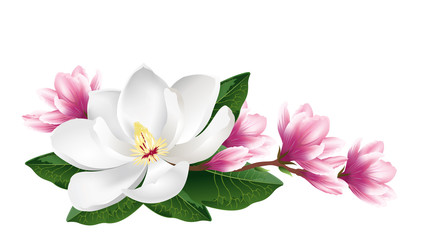 Pink and white magnolia flowers. Realistic hand drawn vector brush illustration isolated on white background.