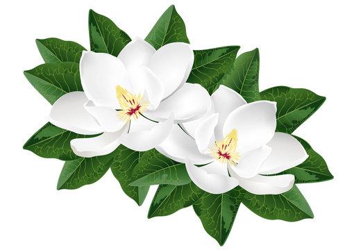 White magnolia flowers. Realistic vector illustration isolated on white background.