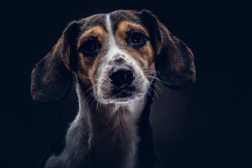 Portrait of a cute breed dog on a dark background in studio.
