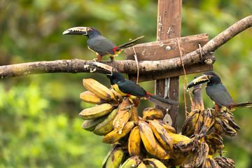 Tukane, Fütterung mit  Bananen - Costa Rica
