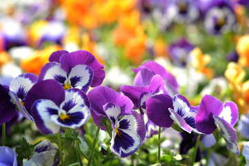 Violet Pansies beautiful flower in the flowerbed. On a sunny day after the rain.