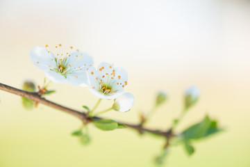 Plum blossom detail