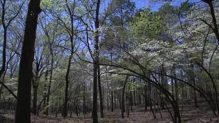0:25 a dogwood flower and tree