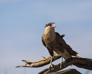 Crested Caracara Vulture