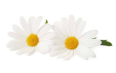 Lovely Daisies (Marguerite) isolated, including clipping path without shade.