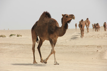 Camels on sand at desert against clear sky