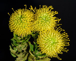 Fine art still life colorful floral macro portrait of an isolated bouquet of three yellow green protea / pincushion blossoms in natural colors seen from the top on black background