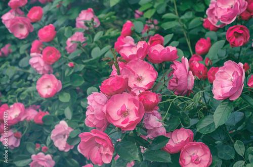 Garden With Fresh Pink Roses Floral Natural Hipster Vintage Background