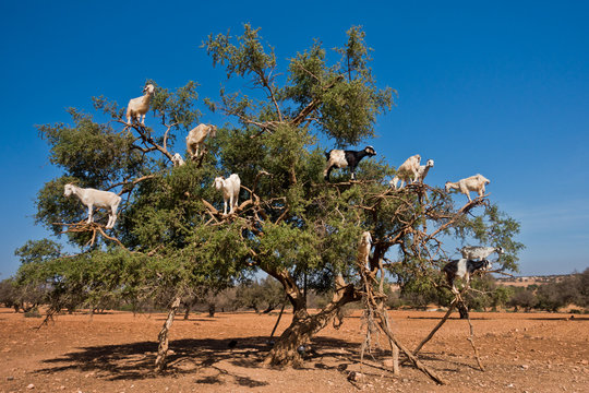 Heard of goats climbed on an argan tree on a way to Essaouira, Morocco, North Africa
