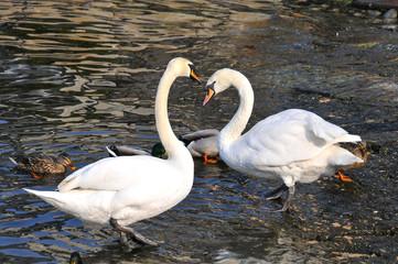 Cisnes à beira da água